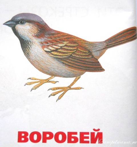 воробей рисунок: