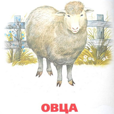 картинка овца для детей