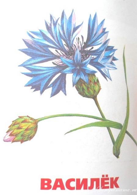 Цветок василек картинка для детей